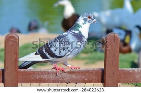Pigeon standing - stock photo