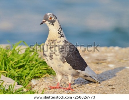 Pigeon standing near green grass and blue water - stock photo
