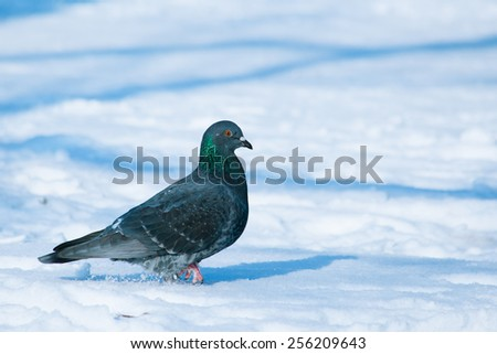 Pigeon walking on snow at sunny winter day - stock photo