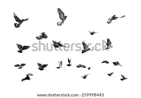 Pigeons flying. Many birds isolated on white background - stock photo