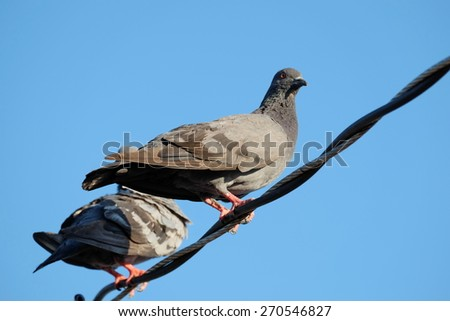 Pigeons on wire - stock photo
