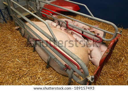 Pigglets suckling sow in modern pen enclosure - stock photo