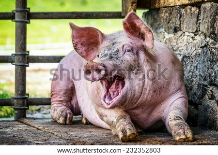 piglet at a farm - closeup - stock photo