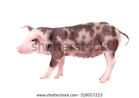 Piglet standing isolated on white background - stock photo