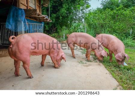 pigs - stock photo
