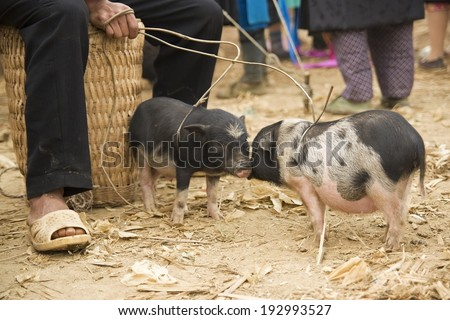 Pigs for sale - stock photo