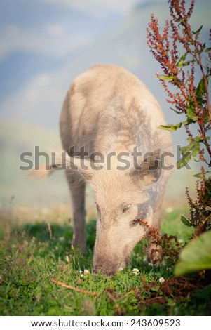 Pigs grazing high in the mountains - stock photo