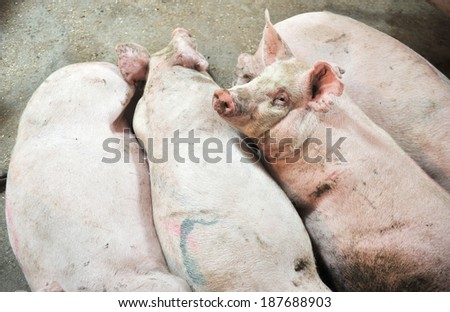 pigs on holiday - stock photo