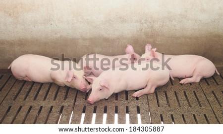 pigs on the farm - stock photo
