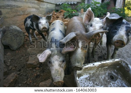 pigs on the farm in country - stock photo