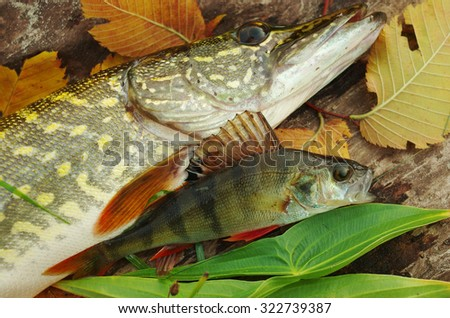 Pike and perch. - stock photo