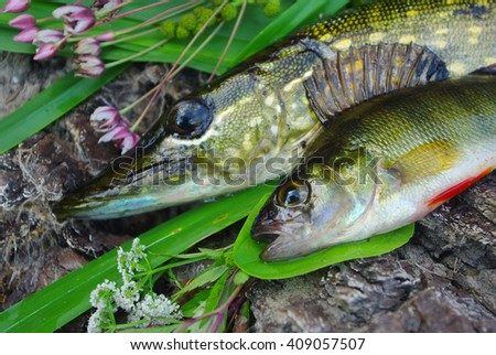 Pike and perch - stock photo