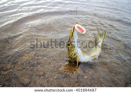 pike caught on a bait well - stock photo