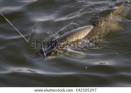 Pike caught on fishing hook in the water. - stock photo