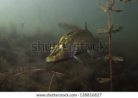Pike, freshwater predator, looking for prey underwater, among the water plants under the surface of the lake in Serbia. / Pike Underwater - stock photo