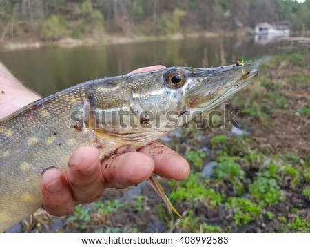 Pike in the hands of the fisherman - stock photo