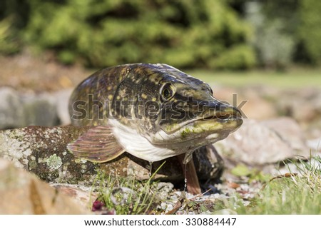 Pike on a rock. - stock photo