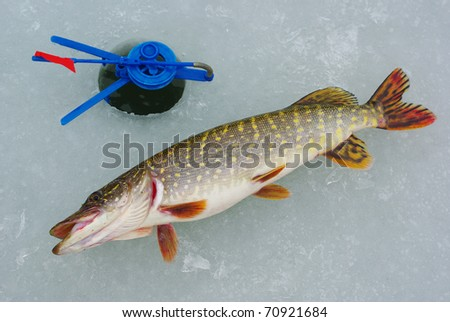 Pike  on the ice. - stock photo