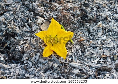 Pile of charcoal lumps with yellow flower - stock photo
