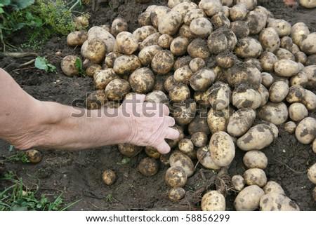 pile of fresh potatoes - stock photo