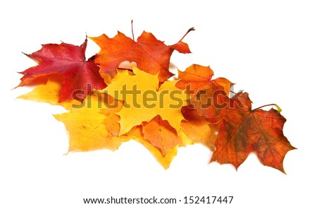 Pile of maple fall colored leaves - stock photo
