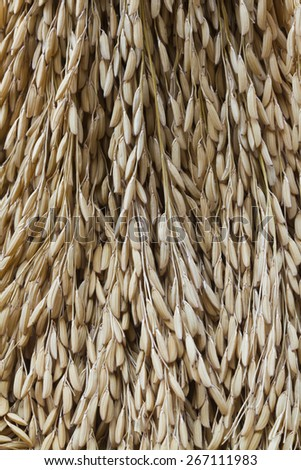 Pile of paddy in brown shell from Thailand ready to process as mass product. - stock photo