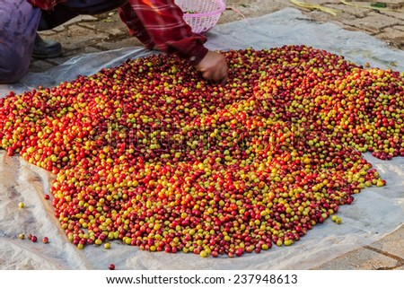 Pile of red Arabica coffee berries on farm and size selection - stock photo