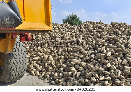 pile of suger beets on harvest day - stock photo