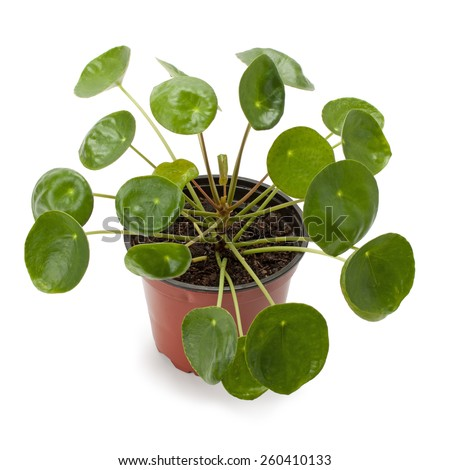 Pilea peperomioides planted in a flower pot isolated on white background - stock photo
