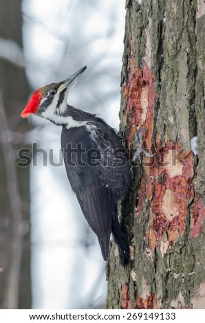 Pileated Woodpecker (Dryocopus pileatus) in winter time - stock photo