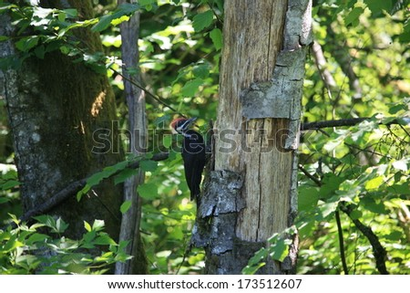 Pileated Woodpecker in natural setting/Pileated Woodpecker/Western Washington Woodpecker - stock photo