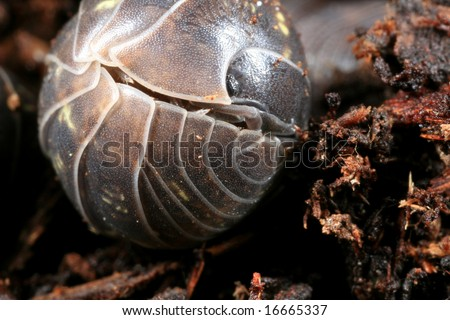 Pill bug defending itself by rolling into a ball - stock photo