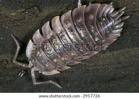Pill bug viewed from the top - stock photo