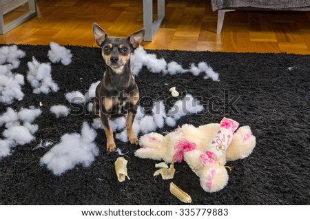 Pincher dog with his victim - stock photo