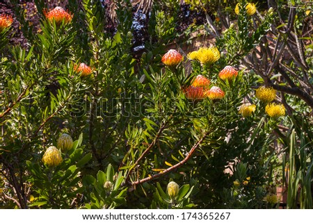 Pincusion (Leucospermum cordifolium) - stock photo