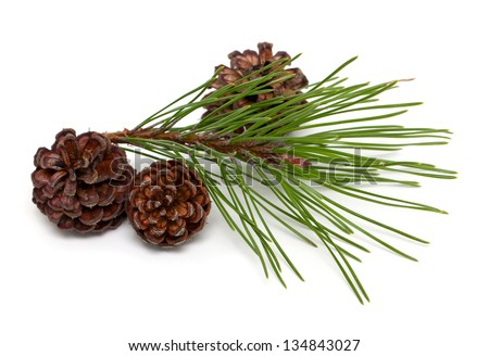 pine branch and cones isolated on white background - stock photo