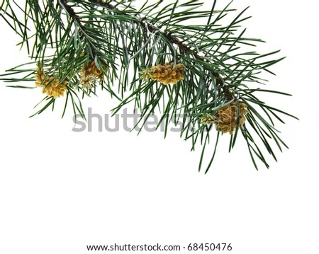 pine branch isolated on white - stock photo