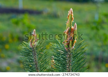 Pine branch. Natural background.Blooming pine. - stock photo