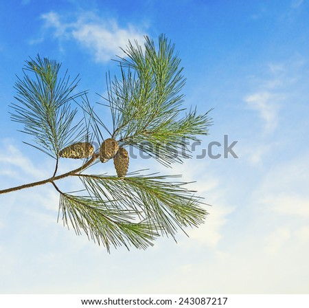 Pine branch with cone on sky background - stock photo