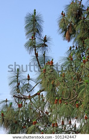 Pine branch with cones - stock photo