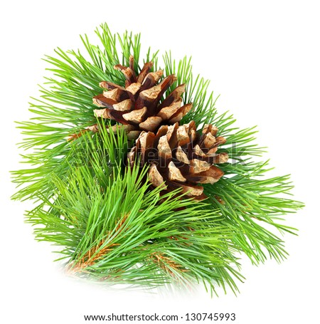 Pine branch with cones isolated on white - stock photo