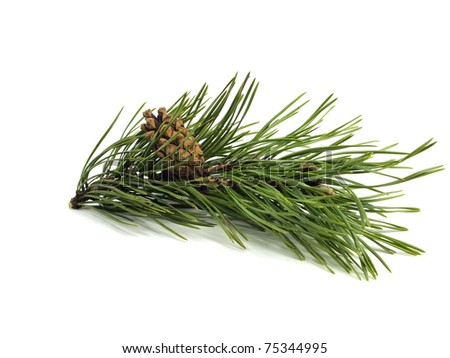 Pine branch with cones on a white background - stock photo