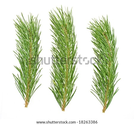pine branches isolated on white - stock photo