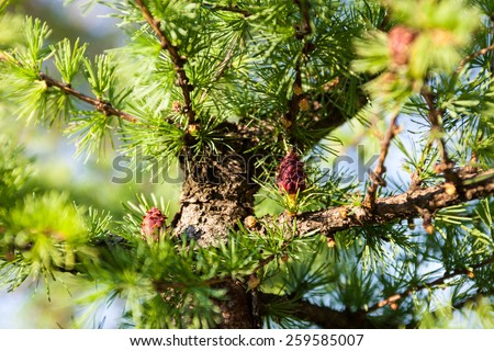 Pine branches with female seed cones and male pollen cones - stock photo