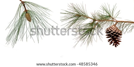 Pine branches with male and female cones isolated on white background - stock photo