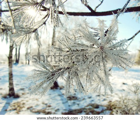 Pine branches with needles covered with snow color - stock photo