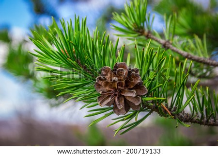 Pine cone on branch - stock photo