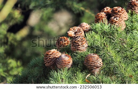 Pine Cones hanging on a Tree branch - stock photo