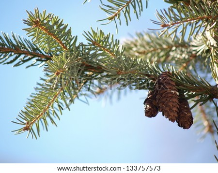 Pine cones, isolated in group in tree, towards blue sky - stock photo
