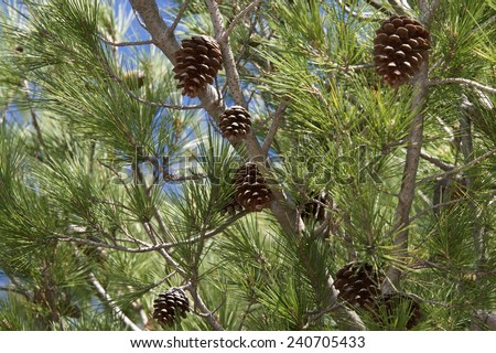 Pine cones on tree branches with pine needles and blue sky in the background - stock photo